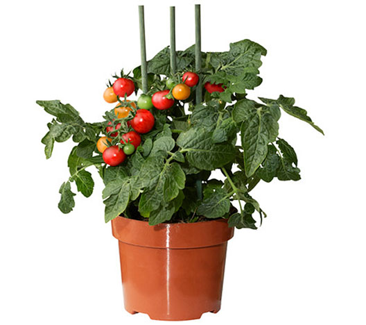 Growing Tomatoes Indoors